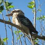 Kookaburra on camp grounds