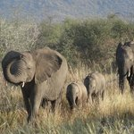 Elephants at a walking pace