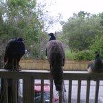 Peacocks on the balcony