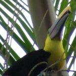 Toucan en train de déjeuner (dans un grand palmier) à l'entrée du resto!