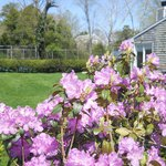 Azalea bushes in bloom by Ashley Manor