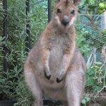 Wallaby at the back door