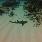 The dangerous nurse shark!!!