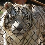 Jellybean the white bangel tiger