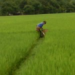 local worker in the rice fields