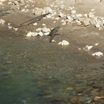 Crocs sunbathing in Ramganga