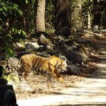 I am Lucky, i saw a tiger in Dhikala