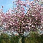 Cherry blossom in the garden