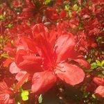 gorgeous azaleas