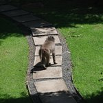 Baboon outside our room