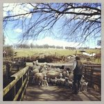 Beautiful morning, lambs heading back to the fields