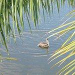 Pelican relaxing in the Lagoon