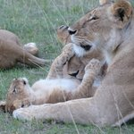 Pride of lions with 8-10 young cubs