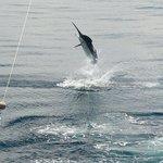 500 lb. Black Marlin caught 04/2013