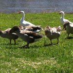 Lunch time for the geese
