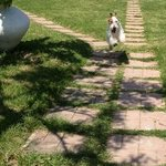 my 14-month old wire fox terrier very happy in the hotel's garden