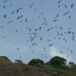 St. Giles Frigate Bird Colony