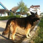 Beautiful german shepherd, a real hotel guardian