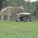 Here is the giraffe visiting another golf cart.