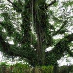 Albero gigante del resort
