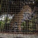 Belize Zoo jaguar encounter