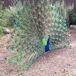 The peacocks showing their majestic plumes