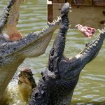 Feeding time at Gatorama
