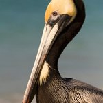 Brown Pelican, Delnor-Wiggins Pass State Park by David Moynahan, FWC
