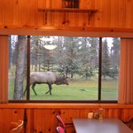 BULL ELK MAKING AN APPEARANCE WHILE PEOPLE ARE EATING