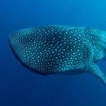 whale shark on opposite side of the bay