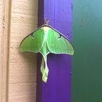 Exquisite Luna Moth