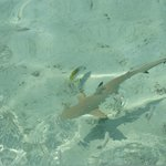 Baby black tip reef shark taken from the deck at the Iru Bar