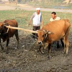 After few thousand years , the Egyptian farmer is still following his ancestor steps .. using th