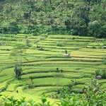 rice terrace of  Karangasem