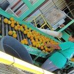 citrus grading process