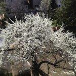 Blossom blossoming yellow plumb tree