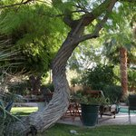 Old twisted mesquite tree