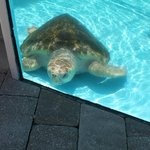 one of the temporary resident turtles