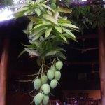 al ristorante, un albero di mango che offre i suoi frutti ai clienti...