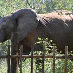 Elephants outside the fence of the lodge