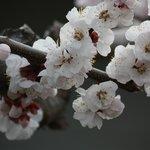 Cherry Blossoms mid April