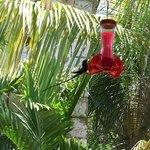Black hummingbird feeding during lunch.