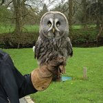 Great Grey Owl - Molly, who can be hired for ring delivery at weddings!