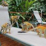 Monkeys by the pool