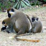 Green monkies at Maxweel beach park
