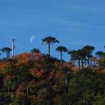 Luna y araucarias