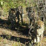 Die Geparden im Aussengehege