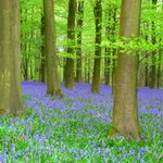 the smells of the blue bells are wonderful