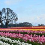 Wooden Shoe Tulip Farm rainbow field