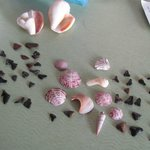 Shells and Sharks Teeth we found right outside our room